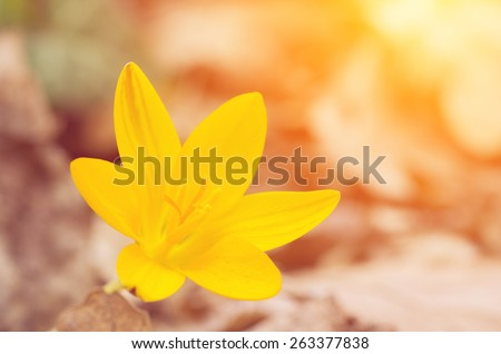 Crimean crocus (saffron) of yellow color backlit. Vintage composition - stock photo