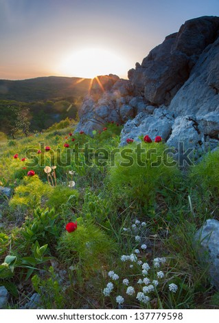 Crimean peony in ray calling at sun - stock photo