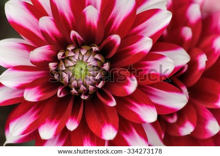 Crimson and white dahlia petals macro, floral abstract background. Shallow DOF, outdoor shot. - stock photo
