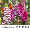 crimson antirrhinum (snapdragon) flower - stock photo