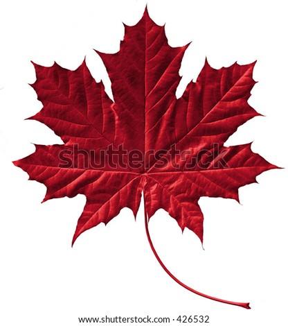 Crimson maple leaf - stock photo