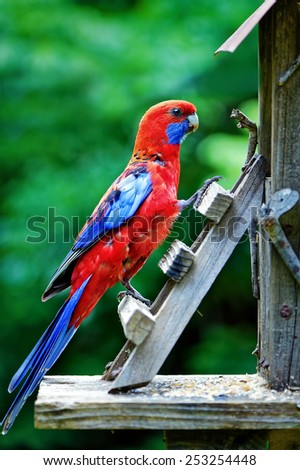 Crimson rosella climbing a bird feeder ladder - stock photo