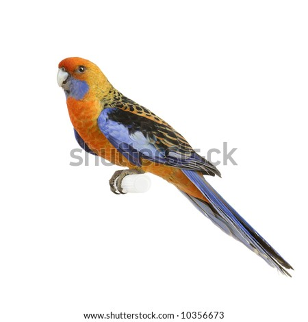 Crimson Rosella - Platycercus elegans in front of a white background - stock photo