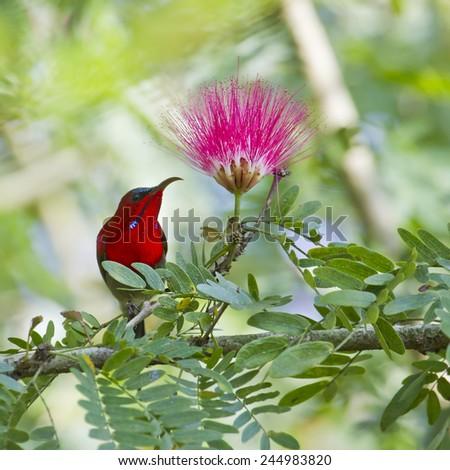 Crimson sunbird specie Aethopyga siparaja in Nepal - stock photo