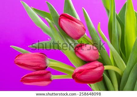Crimson tulip flower on purple background - stock photo