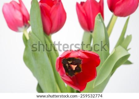 Crimson tulip flower on white background - stock photo