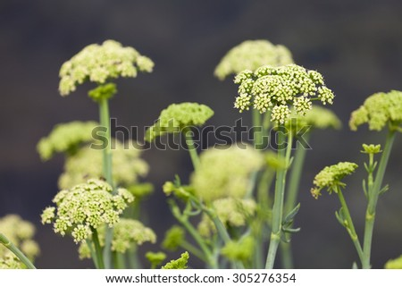 Crithmum maritimum known as samphire or sea fennel is an edible wild plant found on southern and western coasts of Britain and Ireland, on mediterranean and western coasts of Europe, shallow focus - stock photo