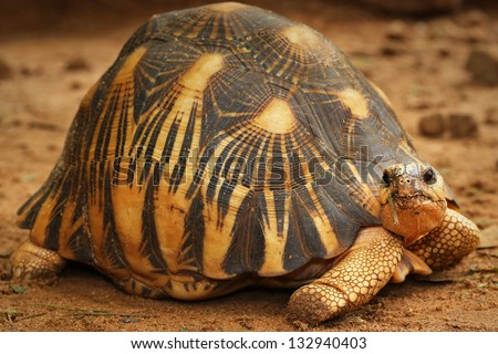 Critically Endangered Radiated Tortoise (Astrochelys radiata) looks around and eats vegetation in Madagascar. This species is one of the most endangered tortoises in the world.