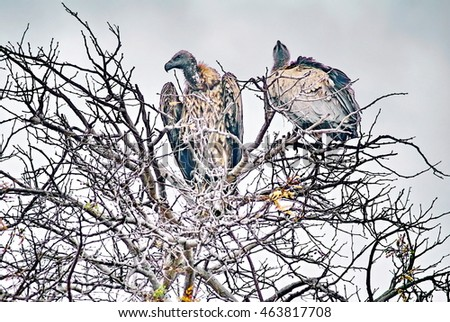 Critically endangered White-backed vultures (Gyps africanus) perched in a tree in Kruger Park, South Africa