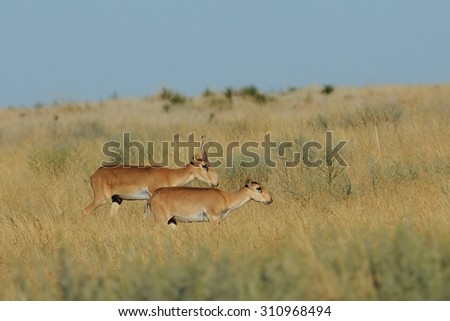 Critically endangered wild Saiga antelopes (Saiga tatarica, male and female) in steppe. Federal nature reserve Mekletinskii, Kalmykia, Russia, August, 2015
