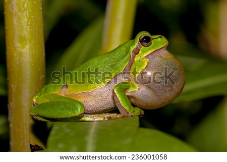 Croaking European tree frog (Hyla arborea) in a tree - stock photo