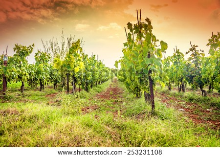 Croatia - vineyard on Istria peninsula. Agriculture on red soil.