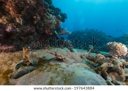 Croccodilefish in the Red Sea - stock photo