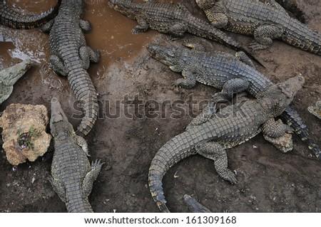 Crocodile breeding farm - stock photo