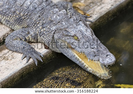 Crocodile chilling out on the Sun with open jaws