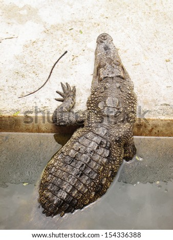 crocodile climbing out on the bank - stock photo