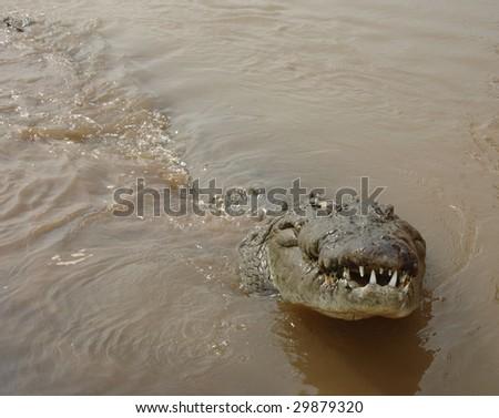 crocodile, costa rica 5 - stock photo