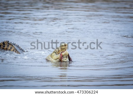 Crocodile eating an Impala in a dam in the Kruger National Park, South Africa.
