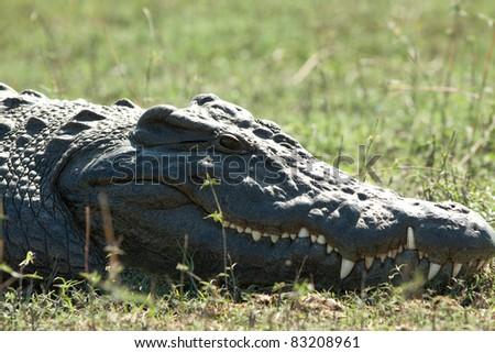 Crocodile eye - stock photo