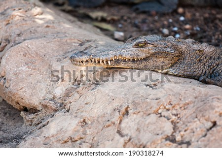 crocodile farm in Zapata - Cuban Crocodile (crocodylus rhombifer)  - stock photo