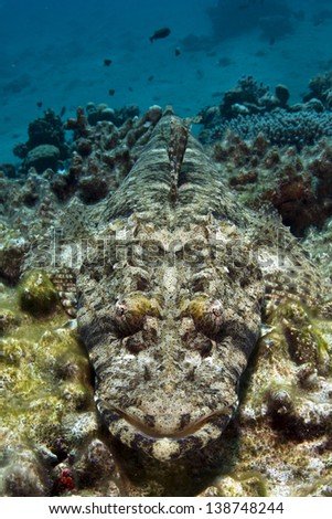 Crocodile Fish resting camouflaged at the dead coral reef covered in algae. Red Sea, Egypt. / Disguise - stock photo