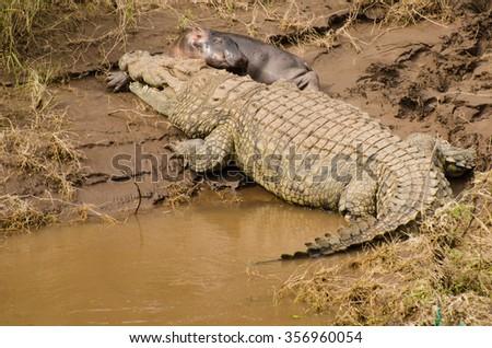 Crocodile has taken the baby hippo in Mara River. - stock photo