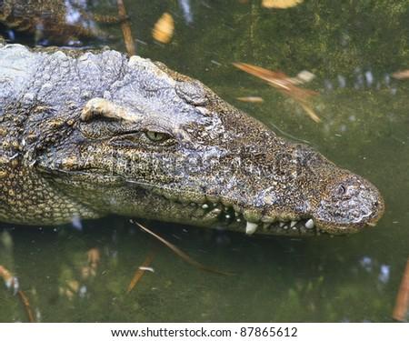 crocodile head - stock photo