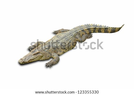 Crocodile in a farm isolated on a white background with Clipping Part - stock photo