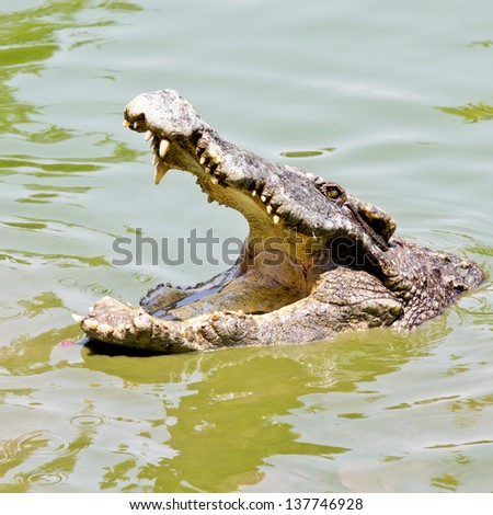 Crocodile in Thailand Farm