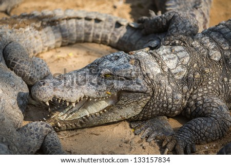 Crocodile in the Indian Reserve - stock photo