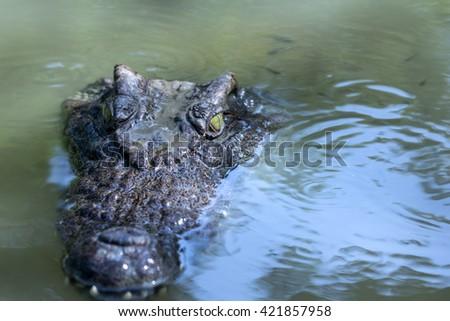 Crocodile in the water lake - stock photo