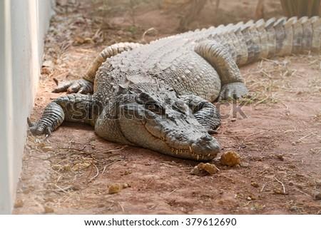 crocodile in zoo - stock photo