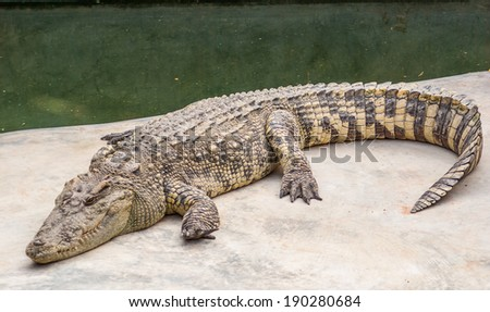 Crocodile is between land and water - stock photo