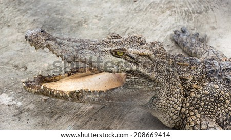 Crocodile is opening mouth,zoo in Thailand. - stock photo