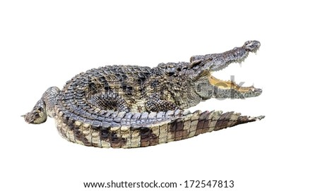 crocodile isolated