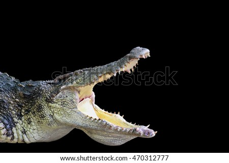 Crocodile isolated on black background.