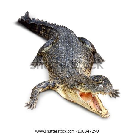 Crocodile isolated on white - stock photo