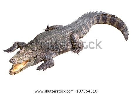 Crocodile isolated on white background - stock photo