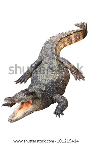 Crocodile isolated on white blackground - stock photo