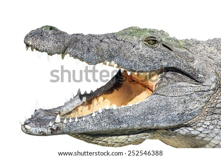 Crocodile lying with open mouth isolated on white background - stock photo
