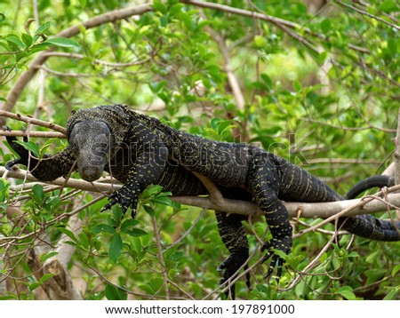 Crocodile Monitor lying on a branch up in a tree