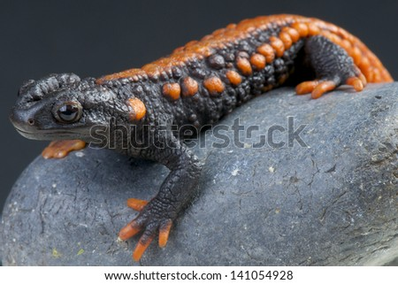 Crocodile newt / Tylototriton kweichowensis - stock photo
