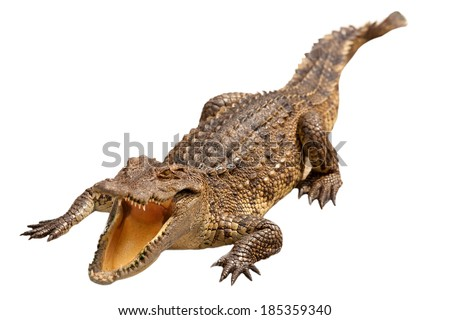 Crocodile on a white background. - stock photo