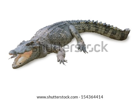 Crocodile on a white background with shadows.