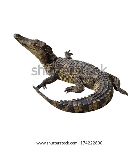 Crocodile on white background.Clipping path. - stock photo