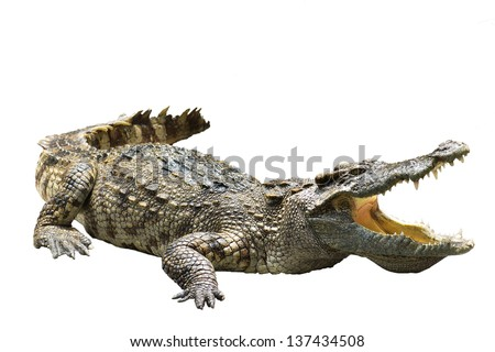 crocodile on white background crocodile on white background  strength predator powerful alligator carnivore dangerous crocodile amphibian aggressive aggression wilderness farm crocodile in thailand - stock photo