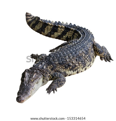 Crocodile on white background with clipping path.