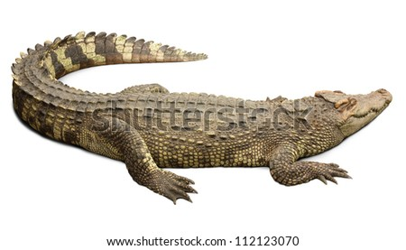 Crocodile on white background with clipping path included. - stock photo