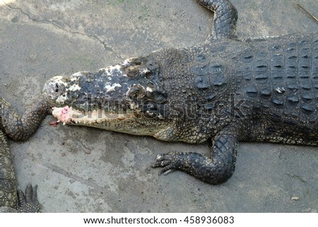 crocodile open mouth in the shadow on cement floor
