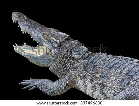 Crocodile Opening Mouth Isolated - stock photo